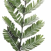 Acacia Catechu Lfwilld Species India Biodiversity Portal