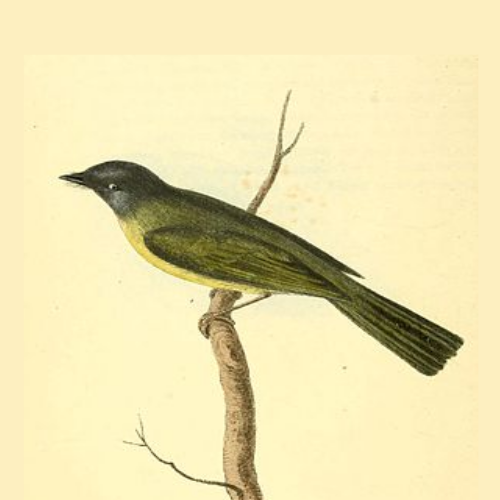 Fairy-flycatcher and crested-flycatchers